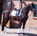 Medium and Advanced Medium Dressage Horses
