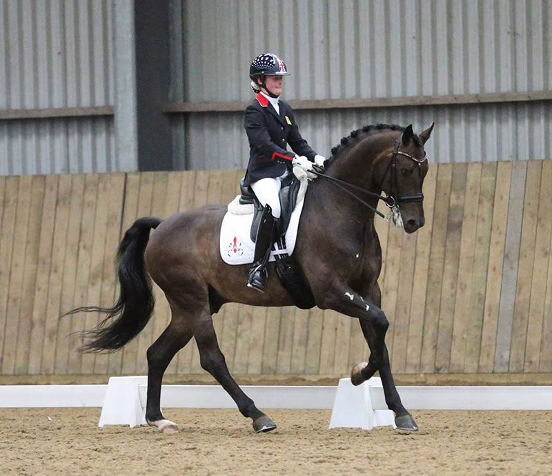 Cadans M Find A Dressage Horse Novice Elementary